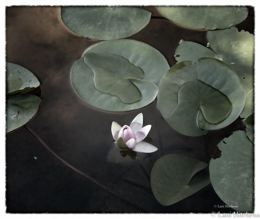 lotus-1-of-1
